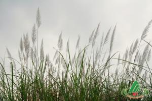 Mộc Châu đẹp lặng lẽ mùa Hoa cỏ Lau