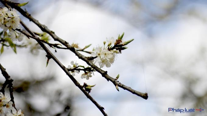 Hoa mận đẹp không chỉ bởi vẻ mong manh, tinh khiết mà còn bởi khi đã nở, hoa sẽ bung ra ồ ạt.