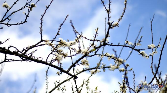 Đến đây vào thời điểm này, bạn sẽ được thỏa thích nhìn ngắm những ngọn đồi trồng toàn mận đang nở hoa trắng muốt pha sắc lá xanh non.