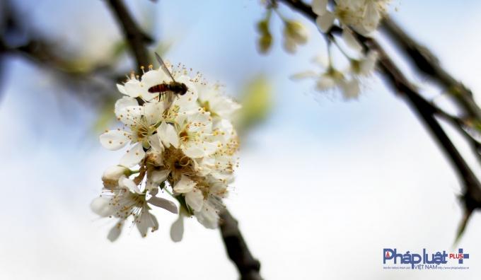 Từng chùm hoa như ríu rít gọi nhau về để bung ra cả cây một màu trắng muốt. Đứng giữa rừng mơ một ngày nắng xuân ngỡ như mình đang ở một thế giới khác.