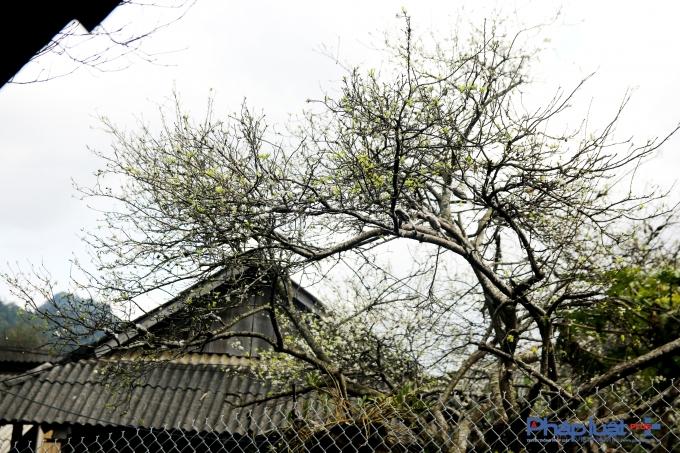 Ẩn hiện trong sương sớm và màu trắng tràn ngập núi rừng của hoa mận là hình ảnh những mái nhà sàn dung dị và cuộc sống bình yên, đáng yêu của đồng bào dân tộc vùng cao.