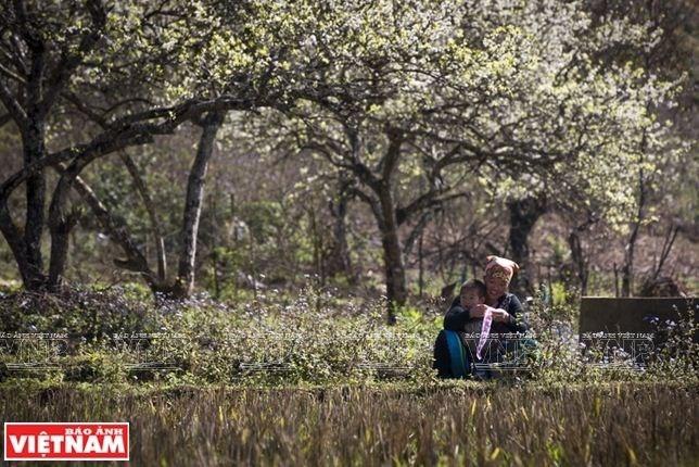 Cao nguyên Mộc Châu: Thảo nguyên ngàn hoa hút khách du lịch