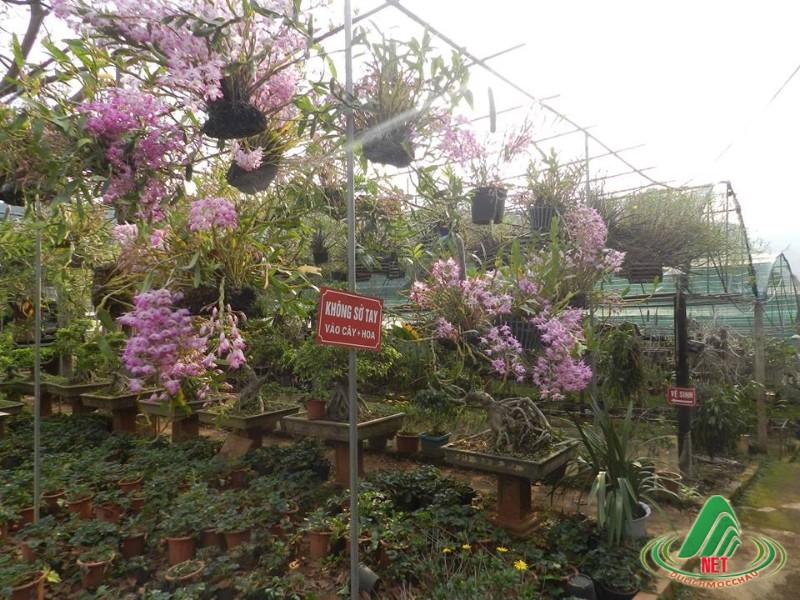 Ngày hội hoa lan Mộc Châu lần thứ 2