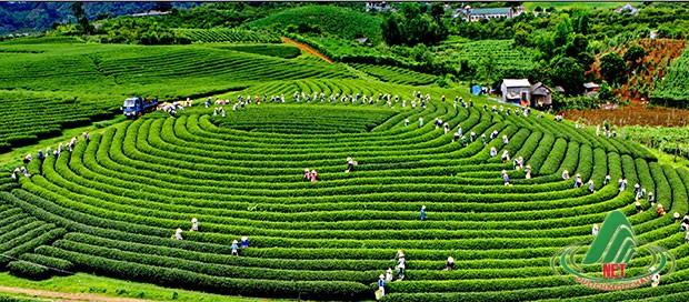 Những đồi chè Mộc Châu có sức hút đến kì lạ đối với khách tham quan