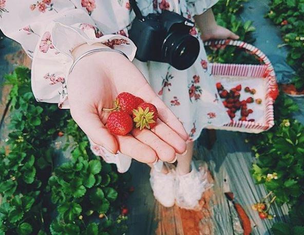 Ngoài trực tiếp hái mận chín trong vườn, bạn cũng có thể trải nghiệm hoạt động thu hoạch dâu tây cùng bà con nơi đây. Ảnh: @tracytran.698