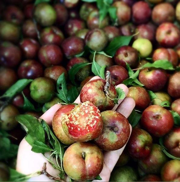 Đất Mộc Châu cho ra những trái mận chất lượng, giòn, thơm và căng mọng so với những trái mận ở khu vực khác