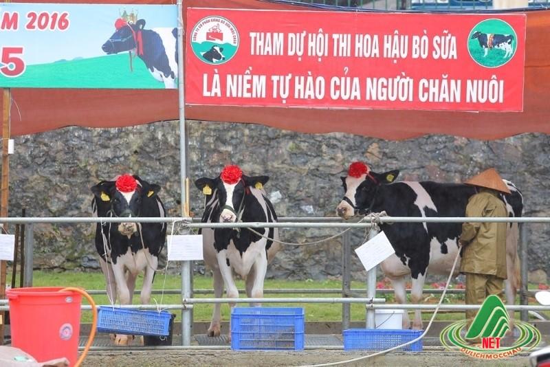 hoa hậu bò sữa mộc châu