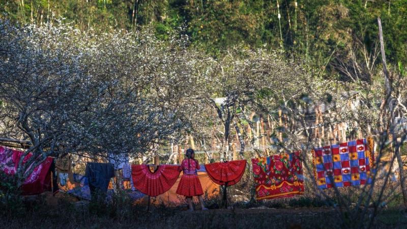 hoa mận mộc châu ở bản Phiêng Cành