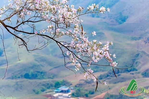 Du lịch mộc châu tháng 3 - mùa hoa ban